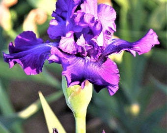 Dashing Reblooming German Iris Bulb Fragrant Amethyst Purple Iris #1 Bare Root Rhizome Non-GMO Grown Organic - Shipping Now