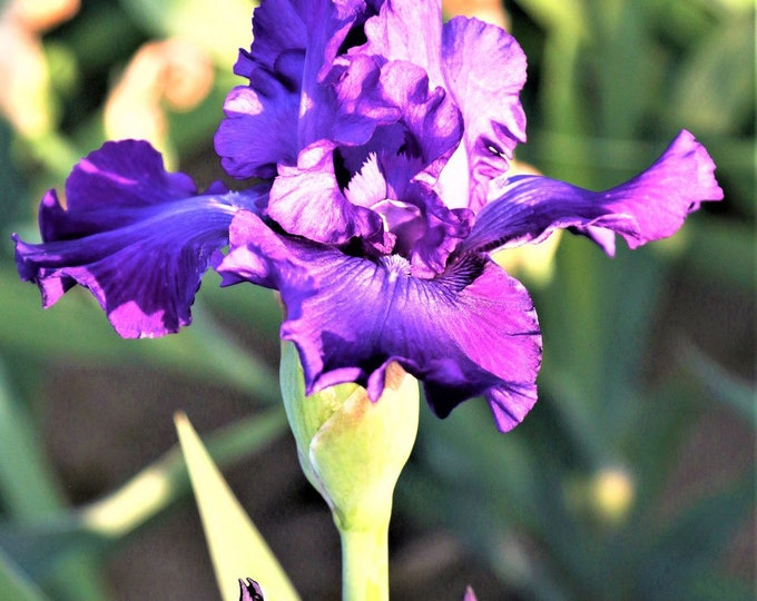 Dashing Iris Plant 4 Inch Pot | Repeat Blooming Fragrant German Iris | Amethyst Purple Flowers Non-GMO Grown Organic - Shipping Now