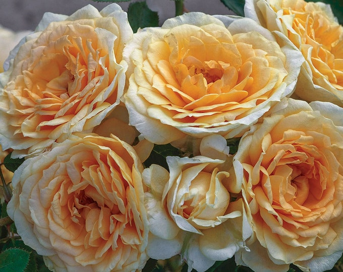 Ediths Darling Rose Bush - A Downton Abbey ® Rose - Fragrant Apricot Yellow Flowers Own Root Potted -