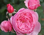 Kiss Me Kate Climbing Rose Plant Potted Very Fragrant Double Pink Flowers Own Root Kordes Variety STARTS SHIPPING in April
