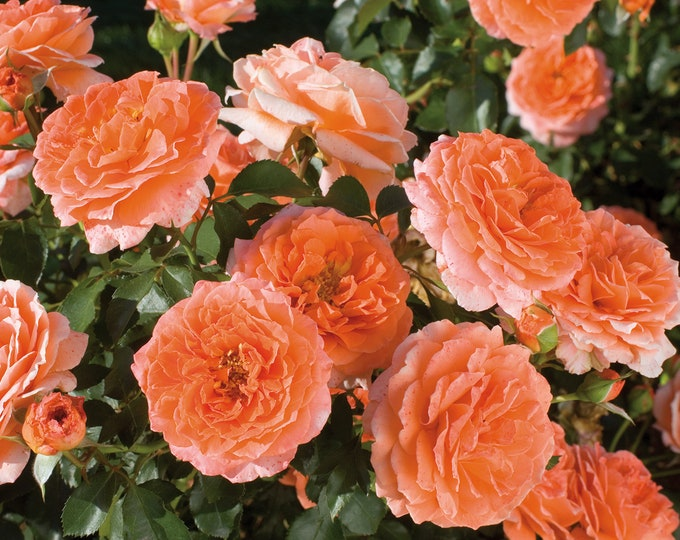 Adobe Sunrise Rose Plant Potted | Continually Blooming Fragrant Orange Flowers Own Root -  SPRING SHIPPING
