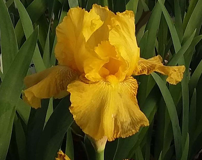Harvest of Memories Iris Plant 4 inch Pot Reblooming German Variety Fragrant Golden Yellow Flowers Grown Organic - Shipping Now