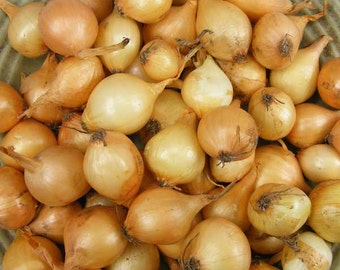 Yellow Onion Bulbs Organic | Stuttgarter Onion Sets 4 Pounds  SHIPPING NOW