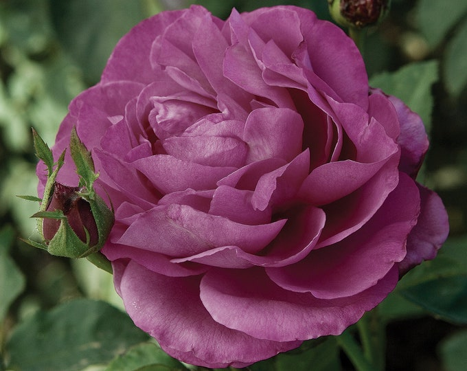 Heirloom Rose Plant Potted | Lavender Fragrant Flowers Own Root Non-GMO - SPRING SHIPPING