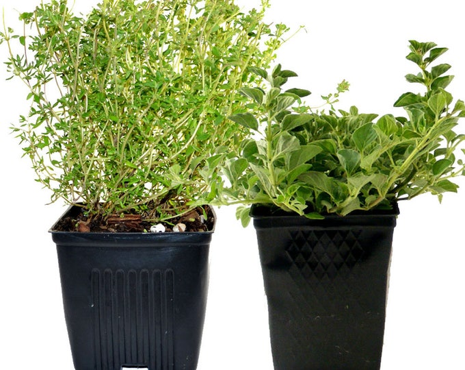 Herb Collection Oregano and Thyme Grown Organic Herb Plants Contains 2 Live Plants Potted - Great Gift for Gardeners Non-GMO