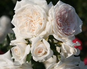 Honeymoon Climbing Rose Plant Potted Arborose Series Own Root Fragrant White Flowers - Great For Containers STARTS SHIPPING in April