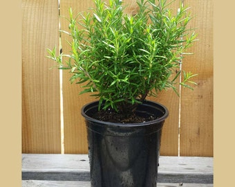 Live Rosemary Herb Plant Potted | Grown Organic in 2.6 Quart Container | Herb Garden Perennial Great For Cooking or Christmas Tree