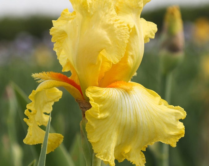 Shoot The Moon Iris Plant 4 Inch Pot | Repeat Blooming German Iris Yellow Flowers Non-GMO Grown Organic - Shipping Now