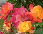 Joseph 39 s Coat Rose Plant Potted Fragrant Climbing Rose - Own Root Orange, Apricot, Pink Flowers - Reblooming STARTS SHIPPING in April