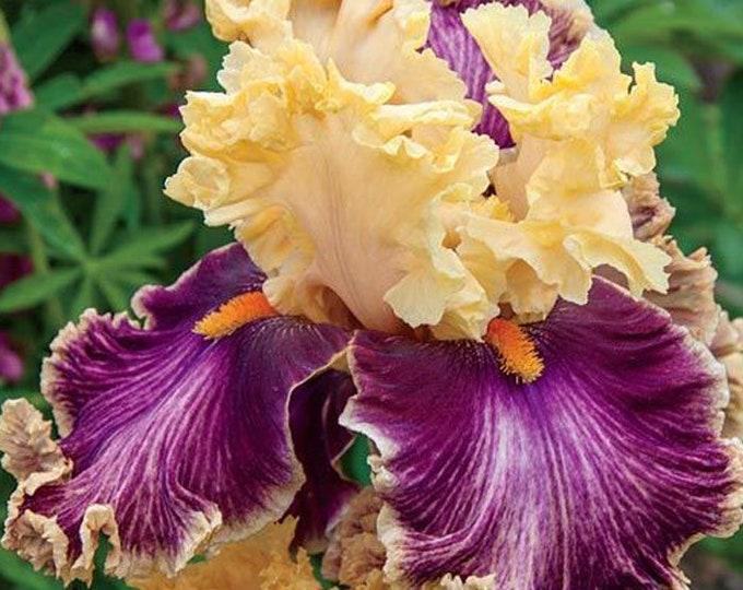 Decadence Iris Bulbs Apricot Burgundy Flowers #1 Bare Root Rhizome Non-GMO Grown Organic - Shipping Now