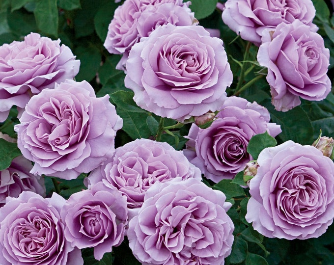 Love Song Rose Plant - Fragrant Lavender Purple Flowers - Own Root Live Rose Plants Grown Organic Potted