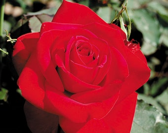 Olympiad Rose Live Plant Potted | Hybrid Tea Red Flowers - Deep Red Blooms  | An excellent Cutting Rose! - SPRING SHIPPING