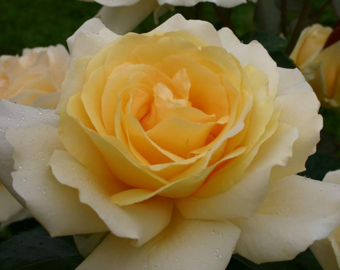 Winter Sun Rose Plant Potted | Eleganza® Rose Yellow Hybrid Tea Own Root -  SPRING SHIPPING
