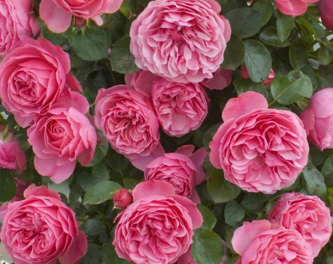 Leonardo Da Vinci Rose Plant Potted - Repeat Blooming Pink Fragrant Flowers Floribunda Own Root - SPRING SHIPPING