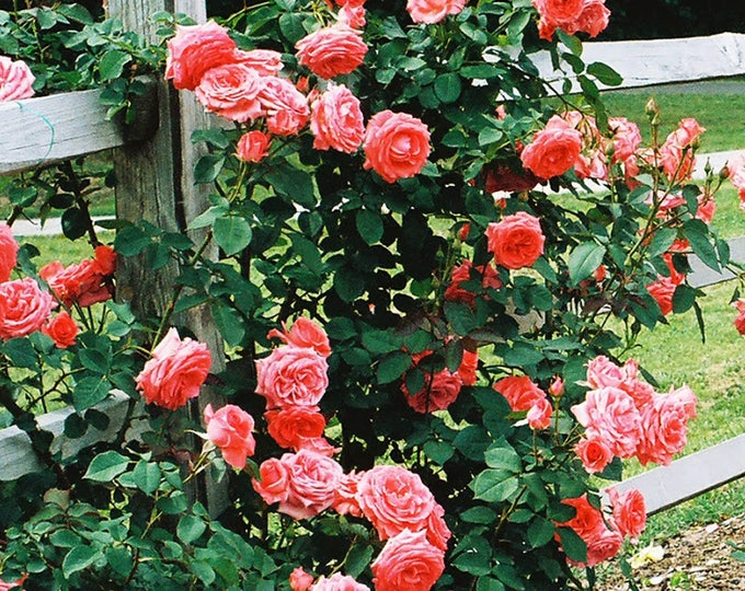 America Live Climbing Rose Plant - Fragrant Salmon Pink Flowers Grown Organic Shipped Potted - Own Root Non-GMO  - SPRING SHIPPING