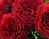 Florentina Climbing Rose Plant Potted Arborose Series Non-Stop Red Flowers - Own Root Great For Containers STARTS SHIPPING in April