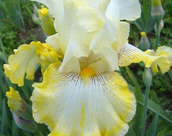 Double Ringer Iris Plant 4 Inch Pot | Fragrant Yellow and White Flowers Non-GMO Grown Organic - Shipping Now