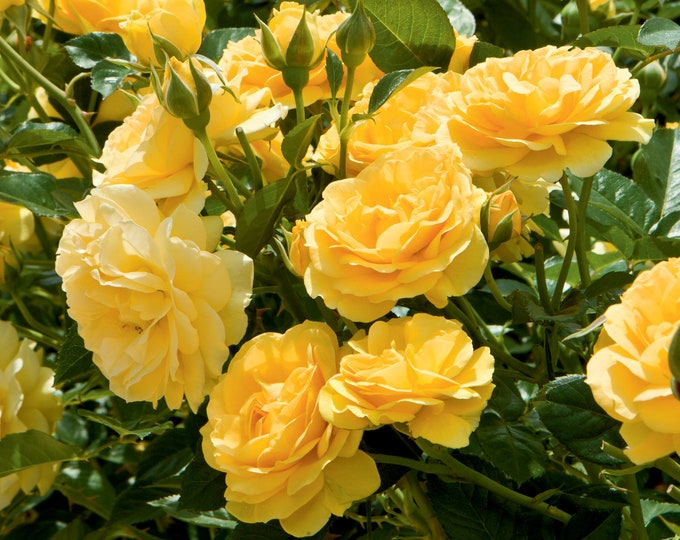 Julia Child Rose Plant Potted Fragrant Yellow Flowers Low Maintenance Floribunda - Own Root SPRING SHIPPING