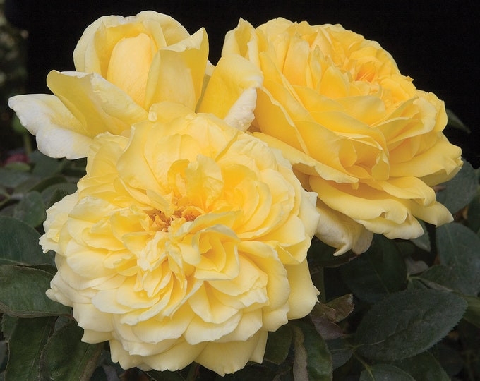 Moonlight Romantica® Rose Plant Potted - Fragrant Yellow Flowers - Easy To Grow Own Root SPRING SHIPPING