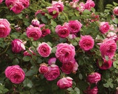 Pretty In Pink Eden Climbing Rose Plant Potted Fragrant Pink Flowers Hardy Own Root - Repeat Blooming STARTS SHIPPING in April