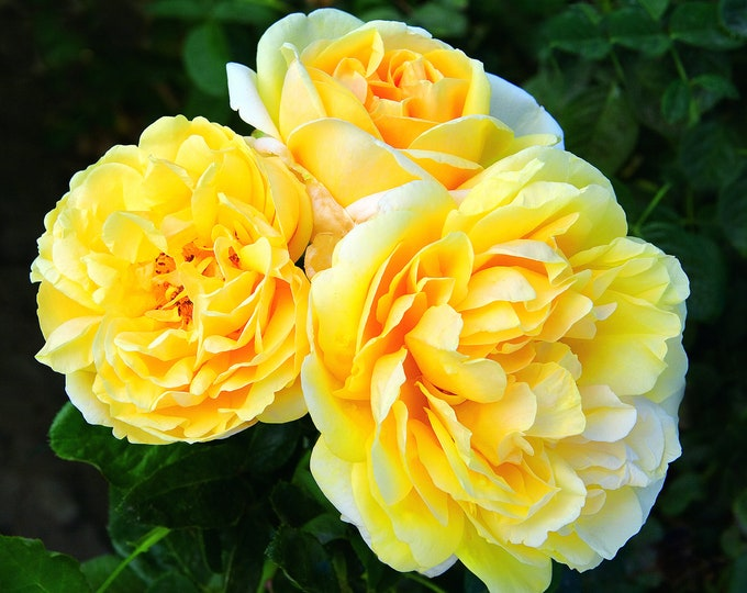 Michelangelo Rose Plant Potted - Lemon Fragrance Yellow Flowers - Easy To Grow Own Root SPRING SHIPPING