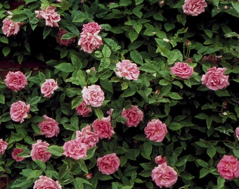 Zephirine Drouhin Rose Plant - Pink Fragrant Nearly Thornless Climbing Rose   Organic Grown Potted Own Root Rose