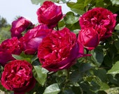 Red Eden Climbing Rose Plant Potted Fragrant Flowers 100 Petals Own Root Climber STARTS SHIPPING in April