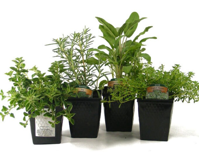 Herb Collection 4 Plants Sage, Oregano, Thyme and Rosemary - Great Gift Herb Kit Non-GMO Organic Potted
