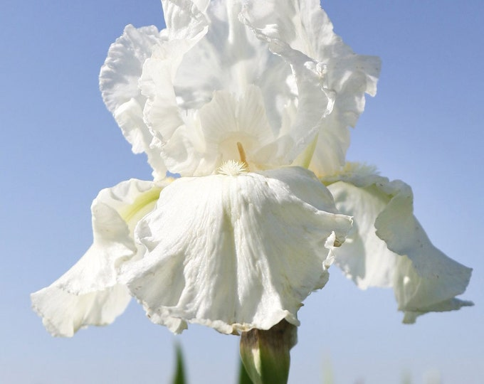 Frequent Flyer Iris Plant 4 Inch Pot | Repeat Blooming Bearded German - Fragrant White Flowers Grown Organic - Shipping Now
