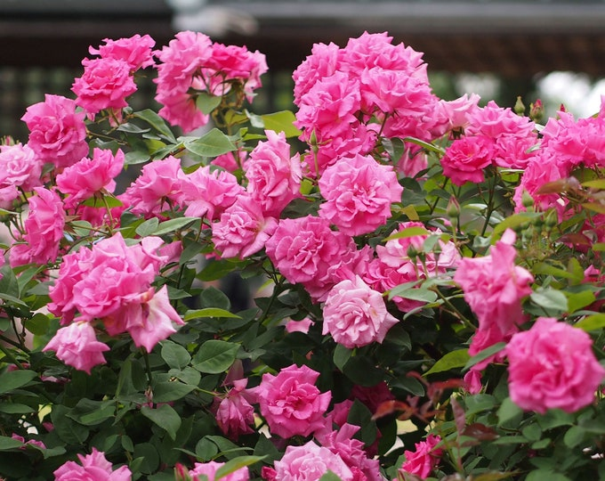 Zephirine Drouhin Climbing Rose Plant Potted - Pink Fragrant Nearly Thornless Organic Grown Own Root Rose SPRING SHIPPING