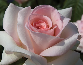 Francis Meilland ® Rose Plant Potted - Very Fragrant Hybrid Tea Shell Pink Flowers - Own Root 65+ Petals SPRING SHIPPING