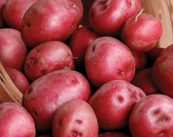 Red Pontiac Seed Potatoes 2.5 Lbs. Certified Organic Red Skinned - Spring Shipping Red Potatoes Non-GMO