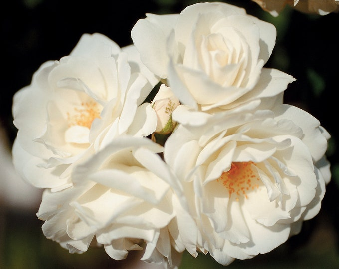 Iceberg Rose Plant Potted - Floribunda Shrub Fragrant White Flowers - Own Root Rose SPRING SHIPPING