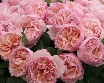 Princesse Charlene de Monaco® Rose Plant Potted - Very Fragrant Pink Flowers - Own Root 100+ Petals SPRING SHIPPING