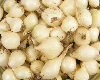 White Onion Sets Organic | Onion Bulbs White Ebenezer Onion 4 Pounds Shipping Now