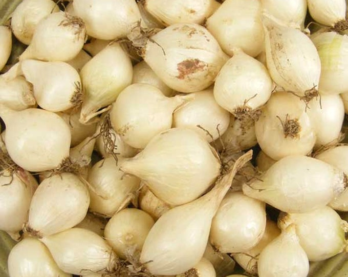 White Onion Sets Organic | White Ebenezer Onion Bulbs Bulk 32 Pounds - Shipping Now