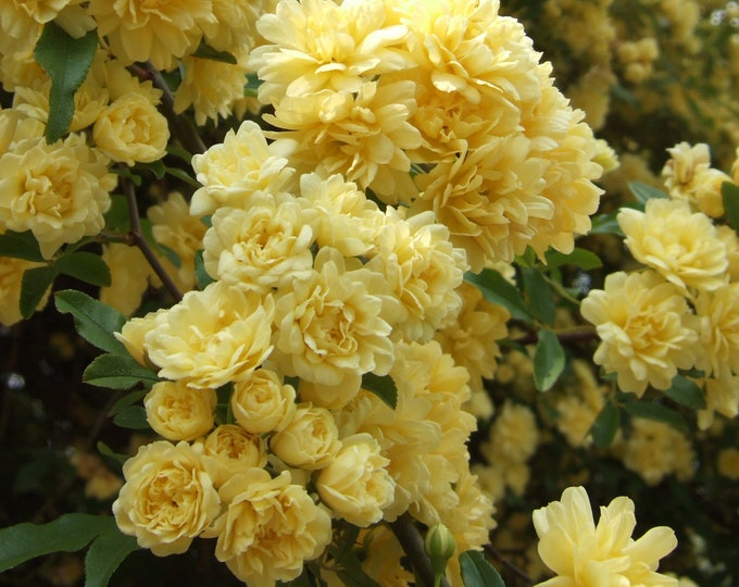 Lady Banks Yellow Climbing Rose Plant Potted - Yellow Fragrant Flowers Nearly Thornless - Own Root Rose SPRING SHIPPING