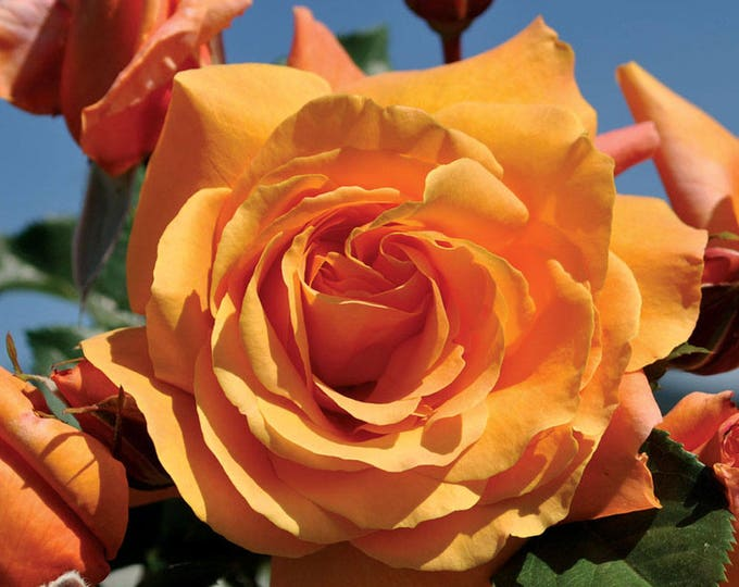 Tangerine Skies Live Climbing Rose Plant - Large Orange Flowers Fragrant Grown Organic Shipped Potted - Own Root Non-GMO