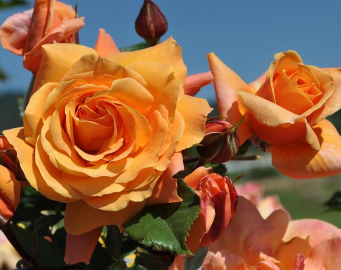Tangerine Skies Climbing Rose Plant Potted - Large Fragrant Orange Flowers - Own Root SPRING SHIPPING