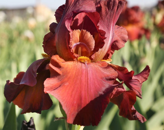 My Friend Jonathan Iris Plant 4 Inch Pot | Repeat Blooming Bearded German - Fragrant Chocolate Colored Flowers Grown Organic