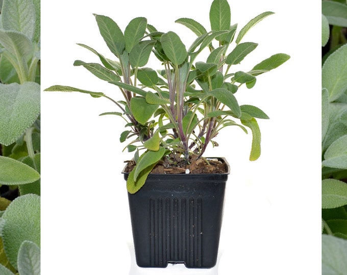 Sage Herb Plant Organic Culinary Herb 4 Inch Container