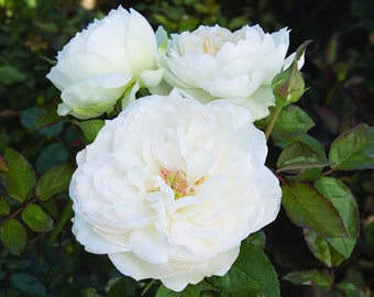 Bolero Rose Plant Potted - Very Fragrant Pure White Flowers - Easy To Grow Own Root SPRING SHIPPING