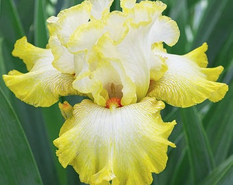 Zesting Lemons Live Iris Plant 4 inch Pot Yellow and White Flowers Non-GMO Grown Organic - Shipping Now