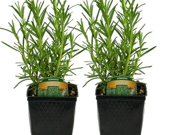 Rosemary Plants - Set of 2 Live Herbs Grown Organic Hardy  4 Inch Container Potted Plants Non-GMO | Great Gift Idea For Gardeners
