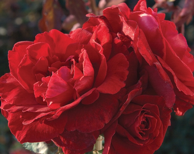 Don Juan Climbing Rose Plant Potted   Red Fragrant Flowers Rose Own Root - SPRING SHIPPING