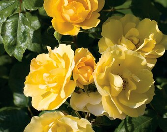Tequila Gold™ Rose Bush -Bright Yellow Flowers All Summer Long - Grown Organic Potted Own Root Rose Bush