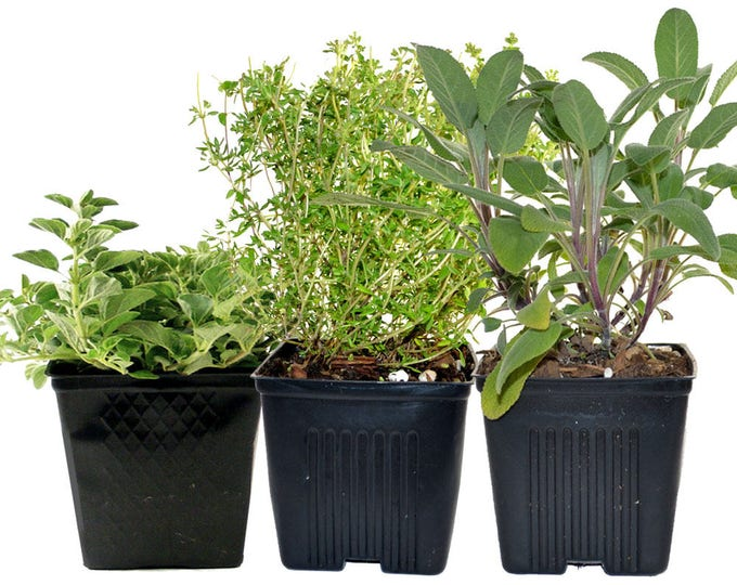 Thyme Oregano Sage Set of 3 Plants Herb Collection Gourmet Assortment of Organic Herbs  - Great Gift Herb Kit Non-GMO