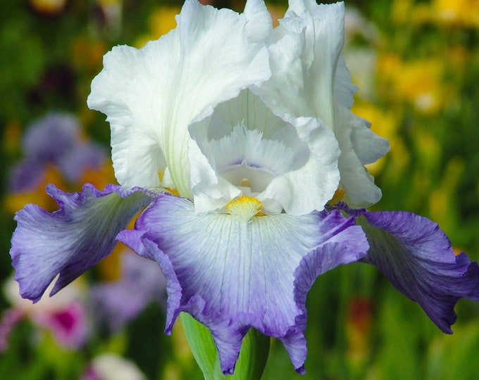 Clarence Iris Plant 4 Inch Pot | Repeat Blooming Bearded German Variety Blue and White Flowers Grown Organic - Shipping Now