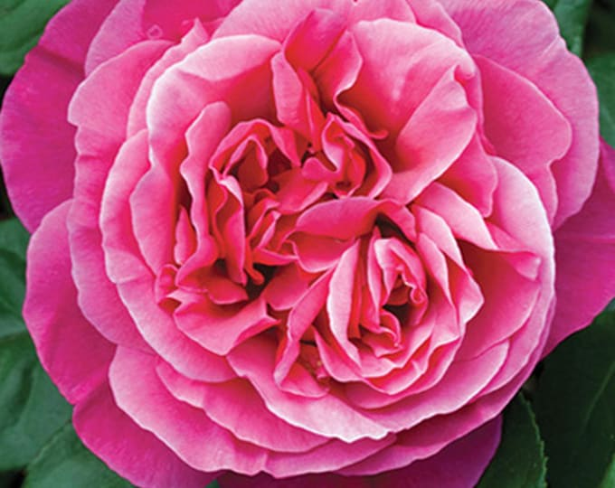 Dee-Lish ® Rose Plant Potted - Very Fragrant Hybrid Tea Deep Pink Flowers - Own Root 40+ Petals SPRING SHIPPING