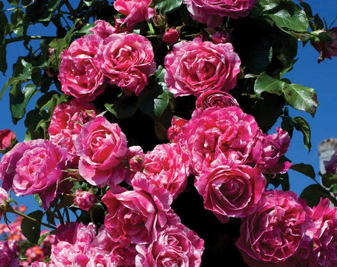 Raspberry Cream Twirl Climbing Rose Plant Potted   100+ Petals Pink And White Striped Own Root - SPRING SHIPPING